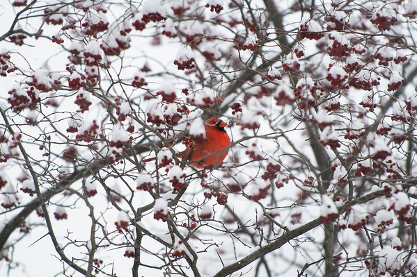 Joed Viera/Staff Photographer-A cardinal eats berries on a tree near Scalzo Park.