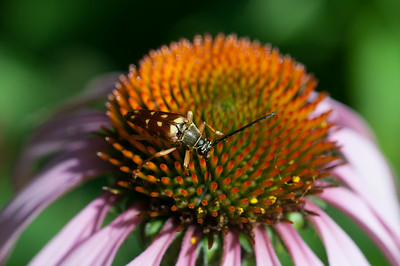 14010 JOED VIERA/STAFF PHOTOGRAPHER-Lockport, NY-A bug rests ojn a blooming flower at the DiMino's Garden on Thursday, July 10th.