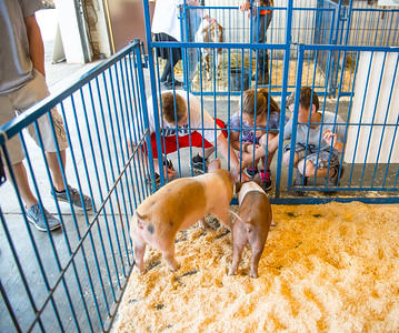 JOED VIERA/STAFF PHOTOGRAPHER-Barker, NY-Barker fifth graders feed pigs during an agriculture fair.