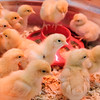 JOED VIERA/STAFF PHOTOGRAPHER-Lockport, NY-Orpington chicks walk around a bucket at Tractor Supply.