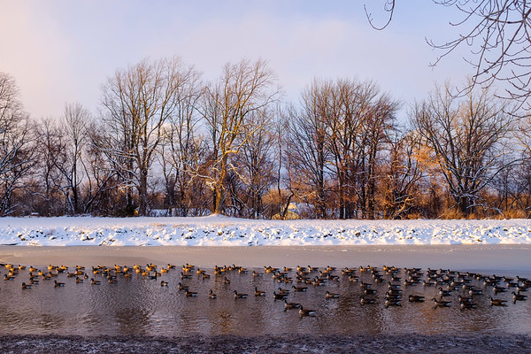 Joed Viera/Staff Photographer-Canda Geese wade on the canal. The canal is seeing higher water levels than normal.