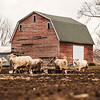 JOED VIERA/STAFF PHOTOGRAPHER-Somerset, NY-Cattle walk around a Hosmer Road Farm Tuesday Afternoon.