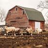 JOED VIERA/STAFF PHOTOGRAPHER-Somerset, NY-Cattle walk around a Hosmer Road Farm Tuesday Afternoon.