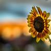 Belmont Painted Sunflower