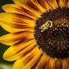 Painted Sunflower Bee
