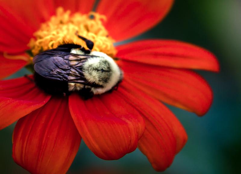 Belmont Sleeping Bee