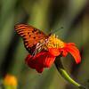 Belmont Butterfly