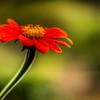 Velvet red flower in the Belmont garden