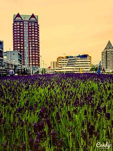 Rotterdam-Blaak-Lillac-field
