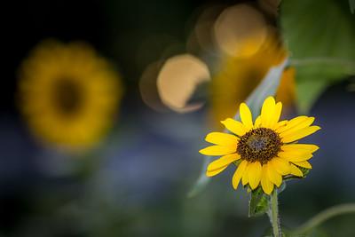 Sunflower in the Sunny Bokeh