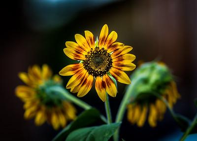Painted Sunflower Trio