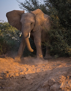 Desert Elephant feeling threatened