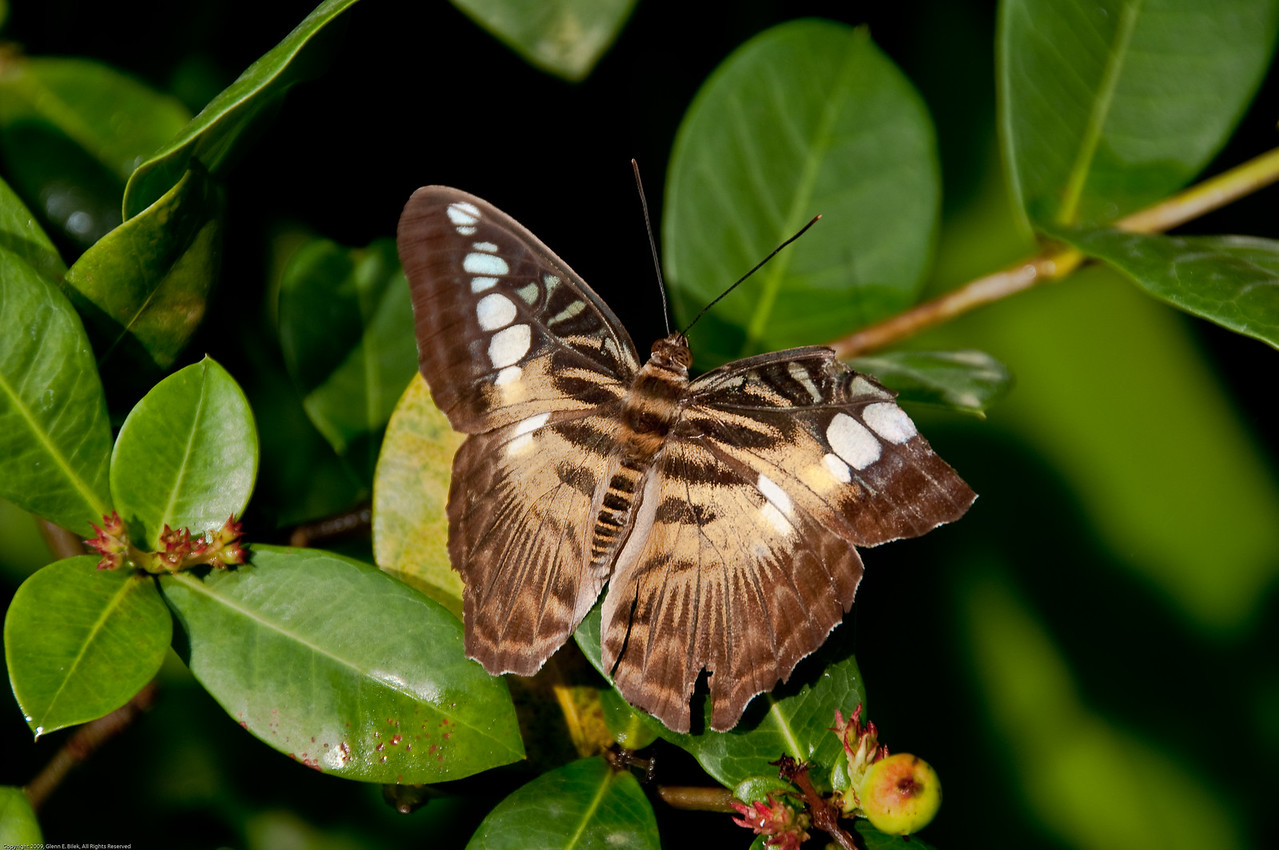 Butterfly-8