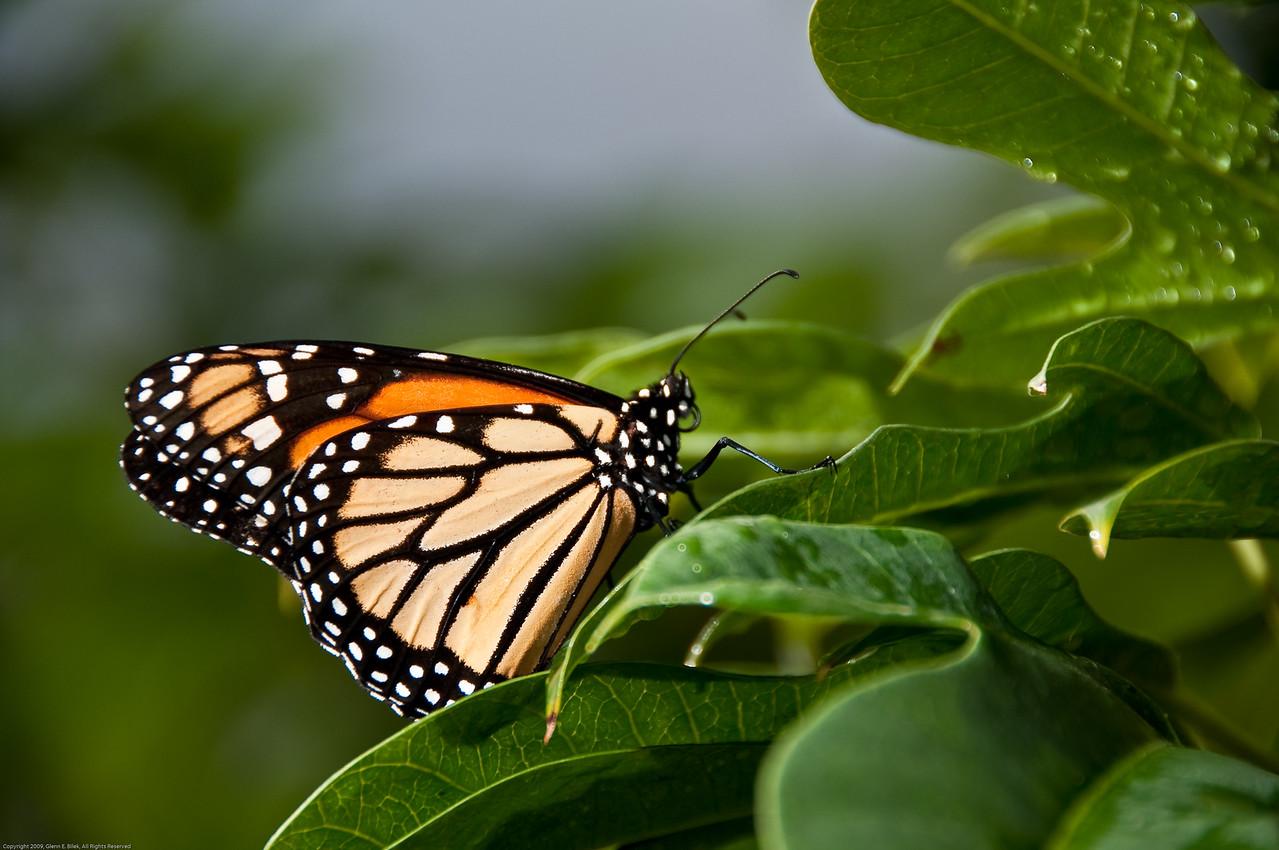 Butterfly-51