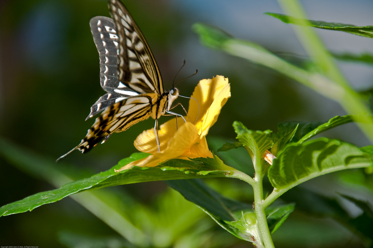 Butterfly-54