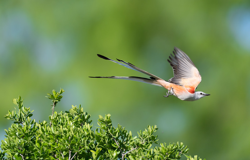 Scissor-tailed Fly Catcher