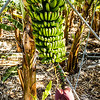 La Palma, Canary Islands<br /> Banana Plant