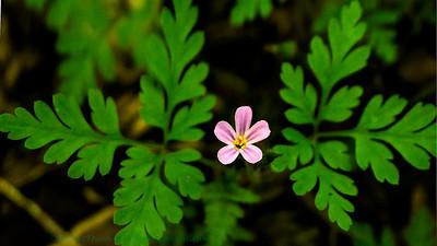 Géranium de Robert (Geranium robertianum)