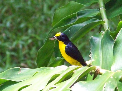 Euphonia, Dominical, Costa Rica.