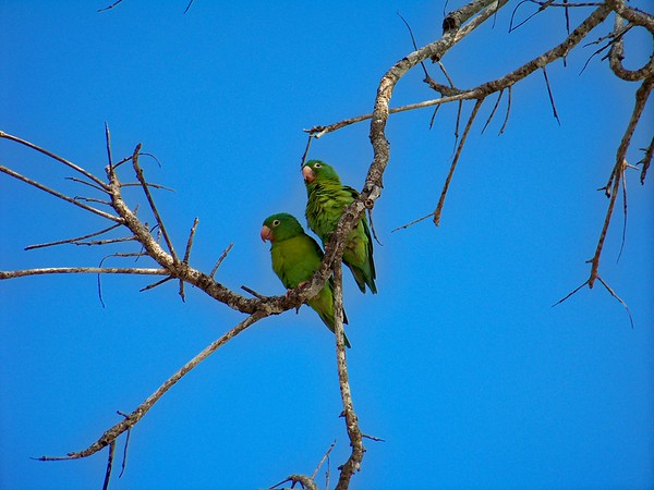 Manuel Antonio, Costa Rica. Orange Chinned Parakeets.