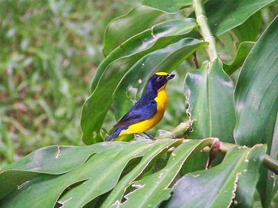 Handsome male. Euphonia, Dominical, Costa Rica.
