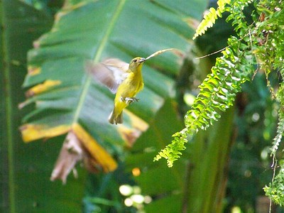 Bringing nesting materials. Euphonia, Dominical, Costa Rica.