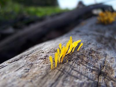 Sunrise fungus, Costa Rica