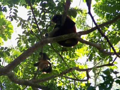 Spider monkeys. Matapalo, Costa Rica. Cute scrapbook shot not recommended for prints.