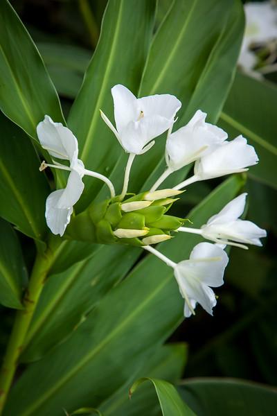 White ginger, Hedychium coronarium