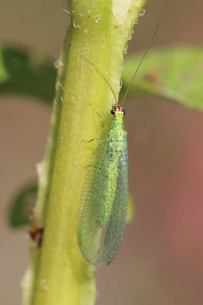 Green Lacewing (Chrysopidae)