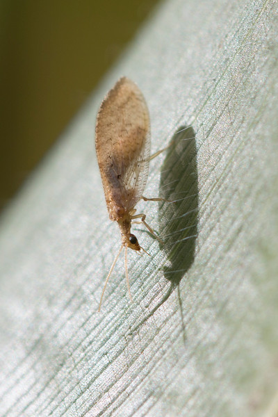 Brown Lacewing (Hemerobiidae)