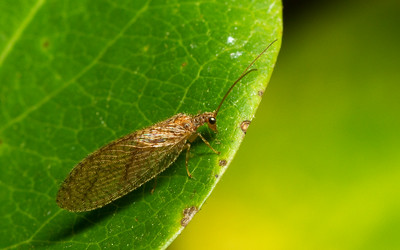 Brown lacewing, Hemerobiidae, from Iowa.