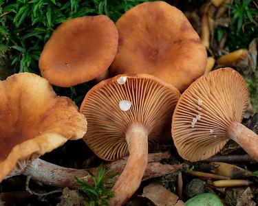 Lactarius rostratus - rýdzik hrboľkatý