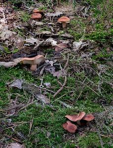 Lactarius decipiens - rýdzik klamný