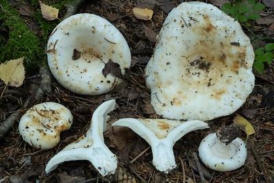 Lactarius resimus - rýdzik riasnatý