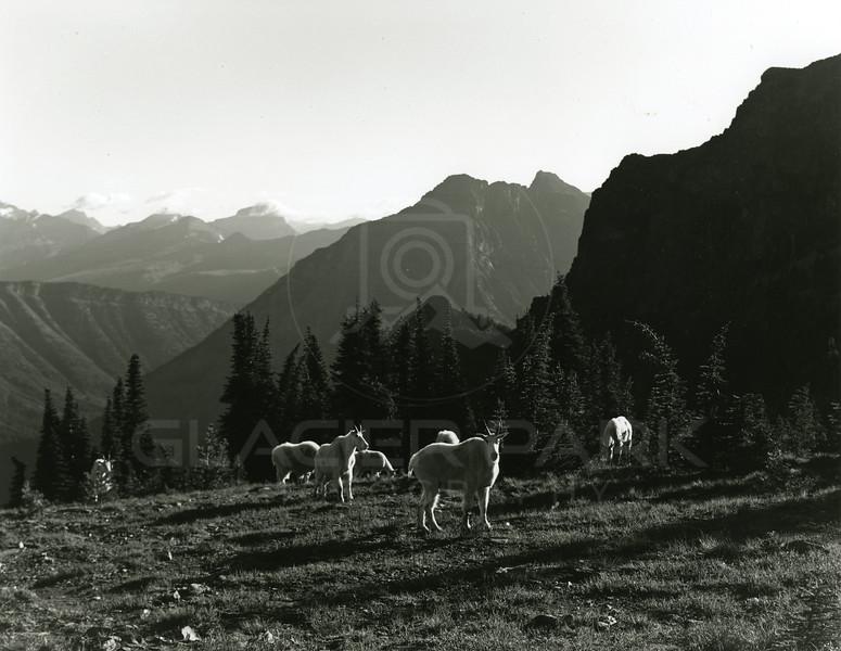 Mountain Goats near Iceburg Lake