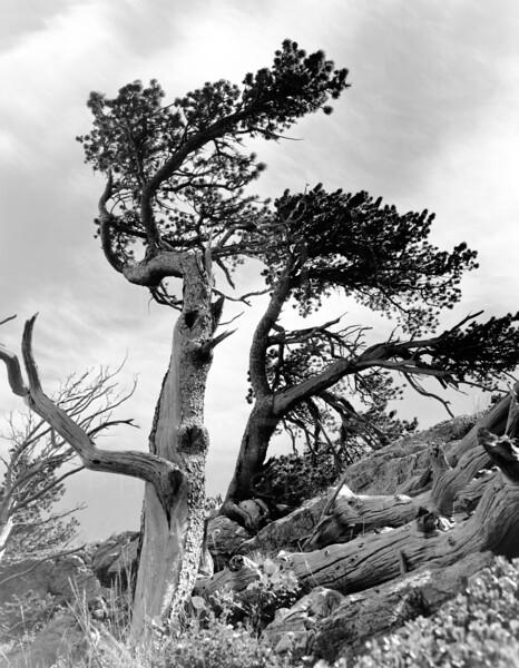 Wind Blown Tree Glacier National Park