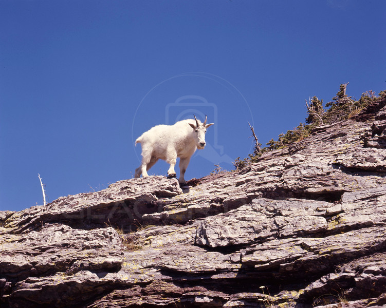 Mountain Goat on Gunsight Pass