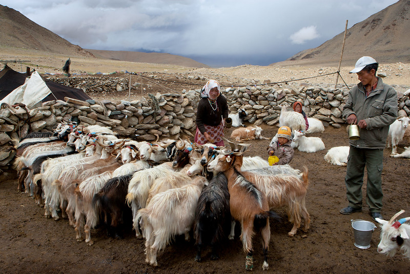 Nomad camp near Tso Kar. Milking the goats.