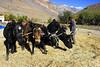 Harvesting barley at Hanumil