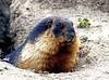 Marmot below Sir Sir la pass