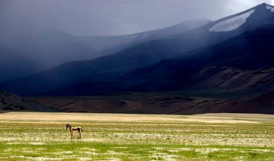 Lone Kiang on the Tso Kar plains