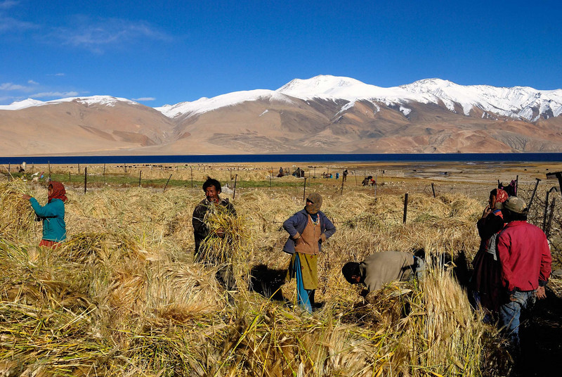 Harvesting Tso Moriri