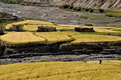 Tsampa fields ready for harvest below Markha monastery