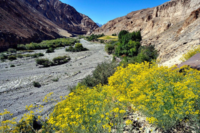 Draba setosa blooms on the rocky outcrop of the river Markha