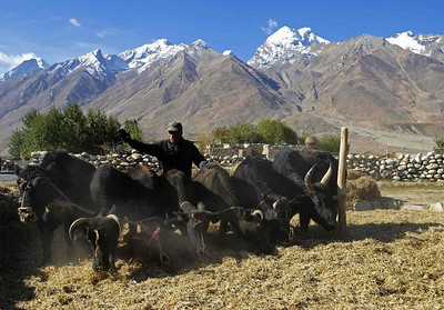 Threshing of barley outside Padum