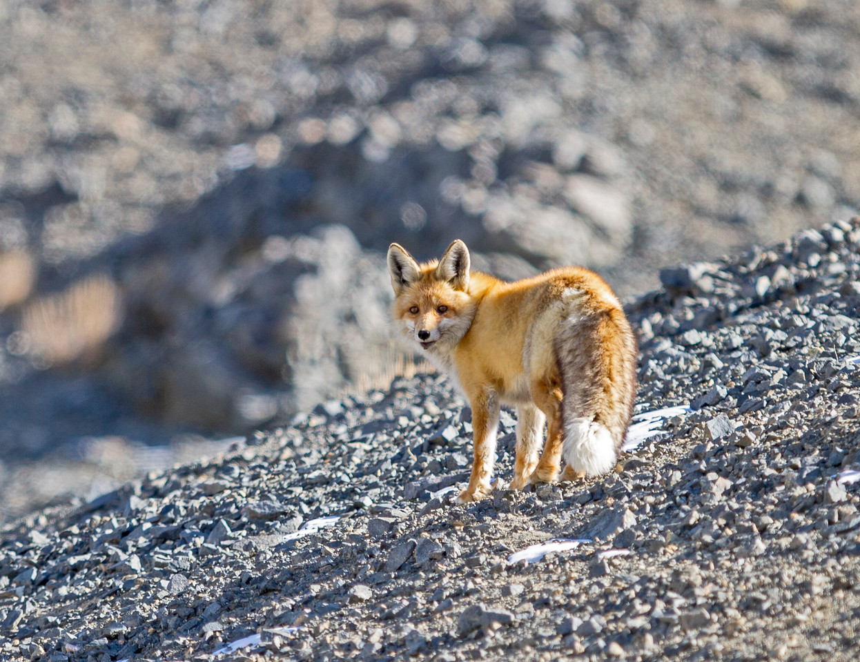 Flame Red Fox