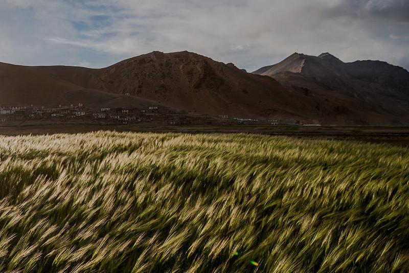 Barley fields - Tso Moriri, Ladakh, India