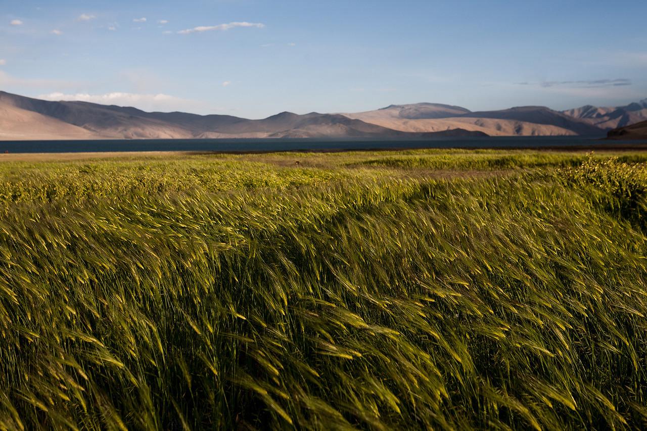 Barley fields near Tso Moriri, Ladakh, India