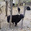 yaks in Leh